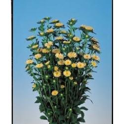 Aster Serenata Amarela - 15 Sementes 8f790b9e104