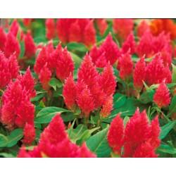 Celósia Plumosa Vermelha - 15 Sementes 3aefac2043e