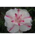 Rosa do Deserto - Adenium Obesum - Full Money Home - 5 Sementes