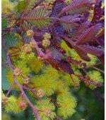 Acácia Purple Fernlealf - 7 Sementes