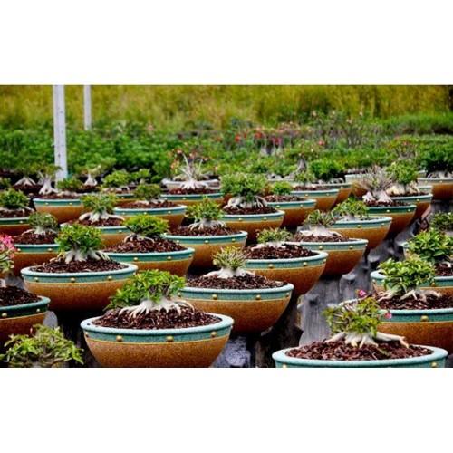Tropica Nursery Adenium Cultivar Catalog
