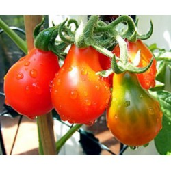 Tomate Red Pear - 20 Sementes