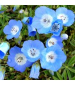 Baby Blue Eyes: 20 Sementes