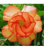 Rosa do Deserto - Adenium Obesum - Orange Pallet - 5 Sementes