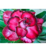 Rosa do Deserto - Adenium Obesum - Red Bow - 5 Sementes
