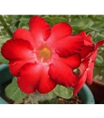 Rosa do Deserto - Adenium obesum - Warrior - 5 Sementes