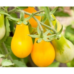 Tomate Yellow Plum 20 Sementes